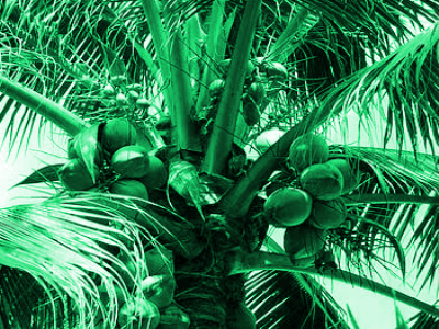 K. B. Hebbar, P. Subramanian, T. L. Sheena, K. Shwetha, P. Sugatha, M.Arivalagan : Chlorophyll and nitrogen determination in coconut using a non-destructive method